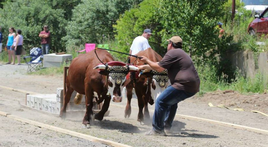 Ox pull, July 1, 2015